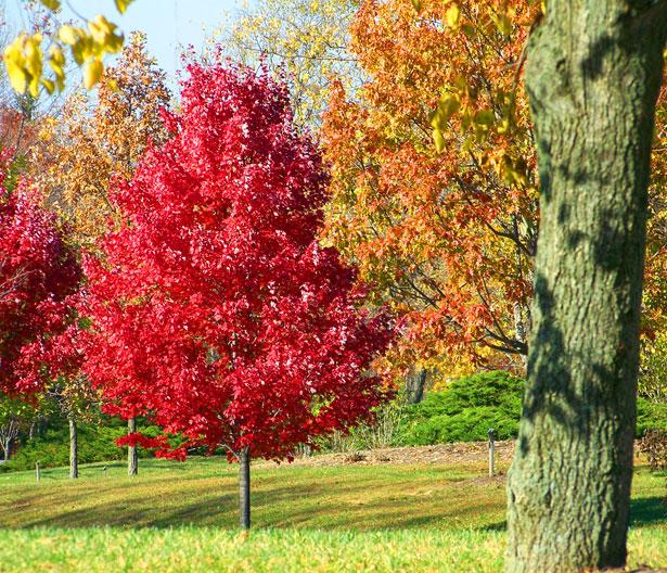Red Autumn Tree          (public domain)